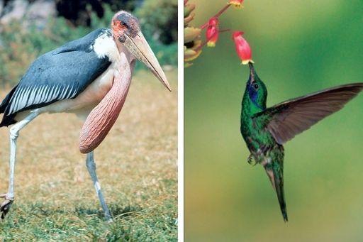 Colibrì e Marabù